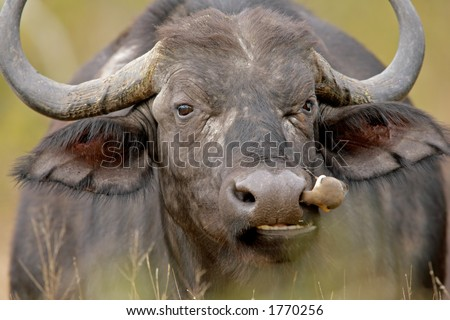 Portrait of an African buffalo with oxpecker bird, Kruger National Park, South Africa - stock photo