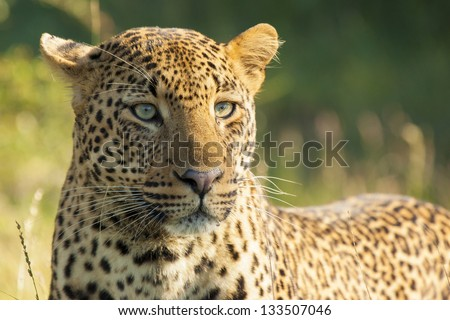 Portrait of an African Leopard in its Natural Habitat Inside the Kruger National Park in South Africa. - stock photo