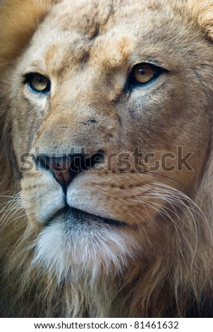 portrait of an african lion, close up, king power - stock photo