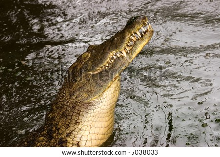 Portrait of an aggressive nile crocodile (Crocodylus niloticus), southern Africa