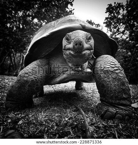Portrait of an Aldabra giant tortoise - stock photo