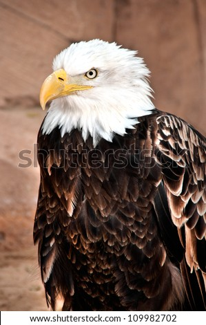 Portrait of an american bald eagle - stock photo