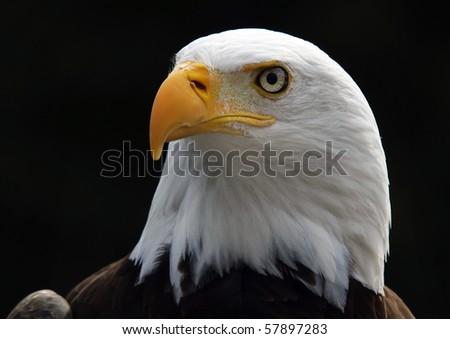Portrait of an American Bald Eagle bird of prey - stock photo