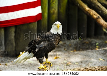 Portrait of an American Eagle and part of the American flag. - stock photo