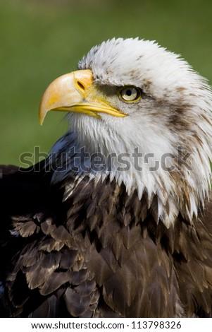 portrait of an american sea eagle, sea-eagle - stock photo