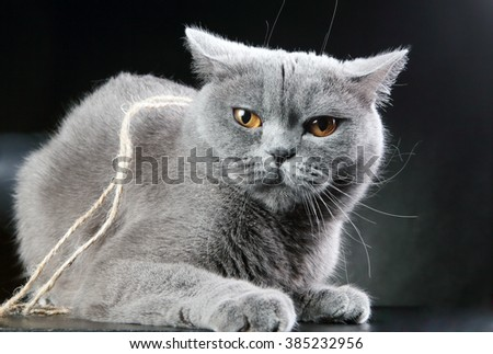 portrait of an angry British cat