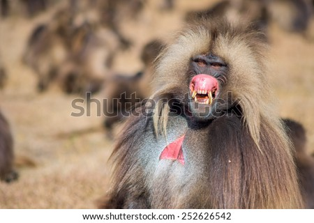 Angry baboon Stock Photos, Images, & Pictures | Shutterstock