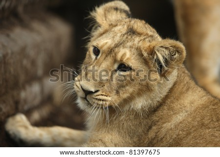 Portrait of an Asian Lion Cub