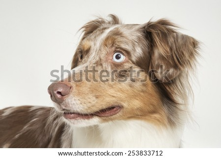 Portrait of an Australian Shepard in the studio - stock photo