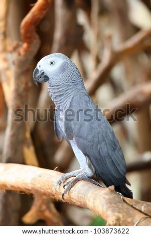 Portrait of an Congo African Grey Parrot (Psittacus erithacus erithacus) - stock photo