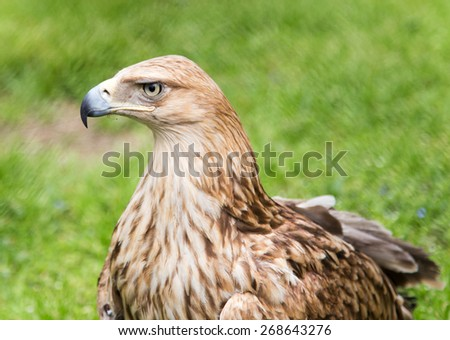 Portrait of an eagle on a background of green grass - stock photo