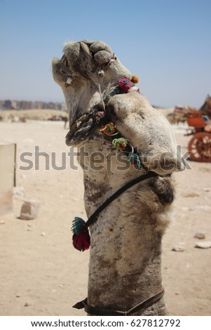 Portrait of an Egyptian camel wearing colorful accessories