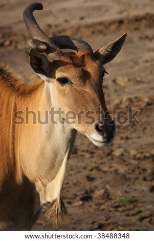 Portrait of an Eland antelope with a strange horn