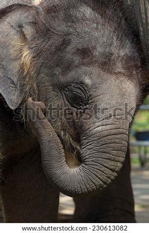 Portrait of an elephant calf close up