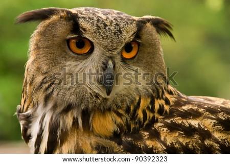 Portrait of an Eurasian Eagle Owl (Bubo Bubo Hispanus). - stock photo