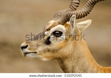 portrait of an impala ram in nature