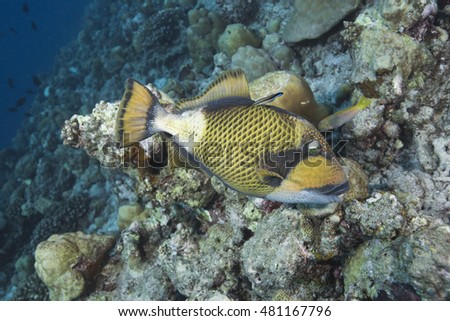 Portrait of an impressive Giant triggerfish (Baliastoides viridescens) feeding at a tropical offshore coral reef, at the popular holiday destination of the Maldives Islands
