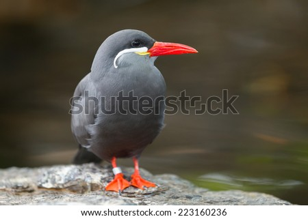 Portrait of an Inca Tern (Larosterna inca) - stock photo