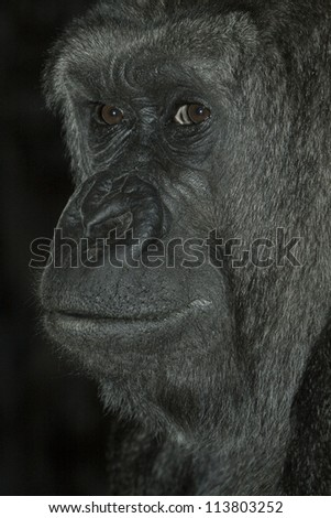 portrait of an old male silver-back gorilla, ape, monkey, primate - stock photo