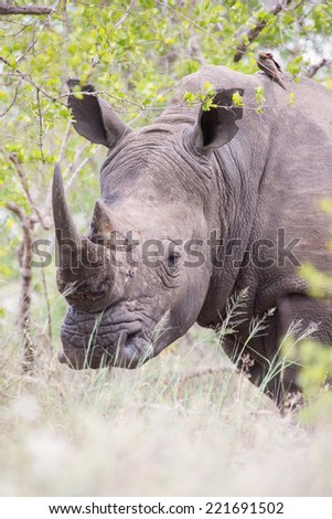 Portrait of an old rhino hiding for poachers in a dense bush  - stock photo