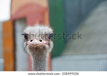 Portrait of an ostrich in sunny day - stock photo