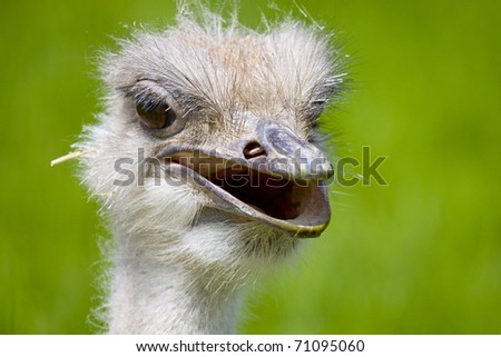 portrait of an smiling ostrich with a open beak