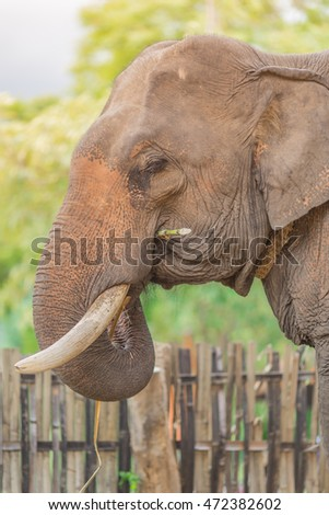Portrait of Asiatic Elephant, Thailand.