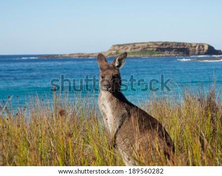 portrait of at kangaroo at batemans bay beach - stock photo