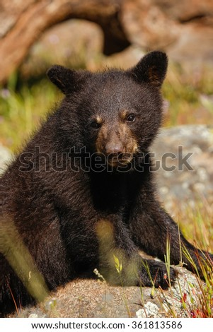 Portrait of baby American black bear (Ursus americanus) sitting on a tree
