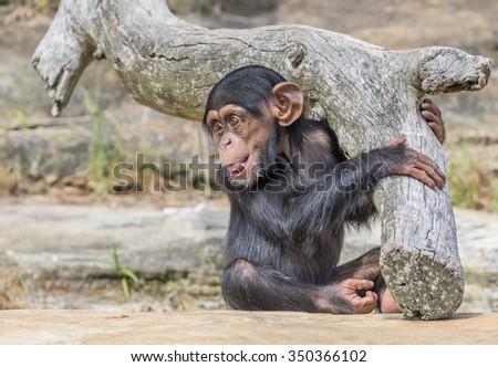 Portrait of baby chimpanzee - stock photo