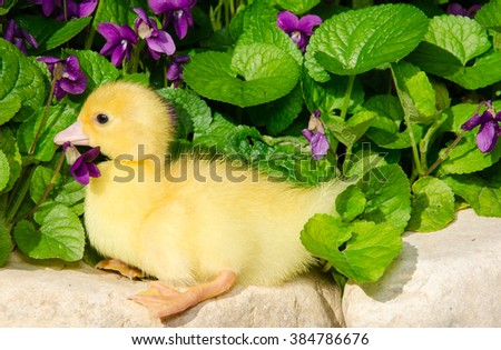 Portrait of baby duck on the flowers. - stock photo