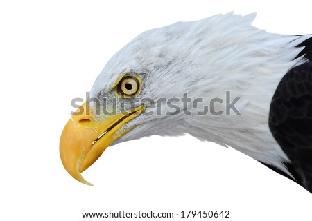 Portrait of bald eagle isolated on white background - stock photo