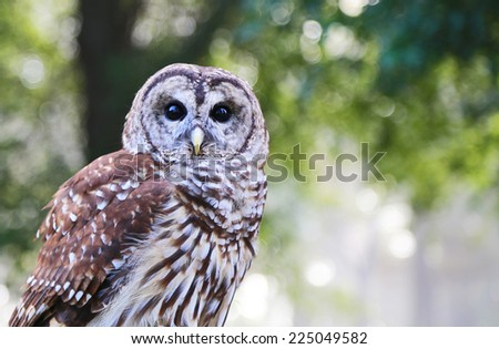 Portrait of Barred Owl (Strix Varia), known as Hoot Owl - stock photo