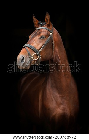 Portrait of bay stallion on black background - stock photo