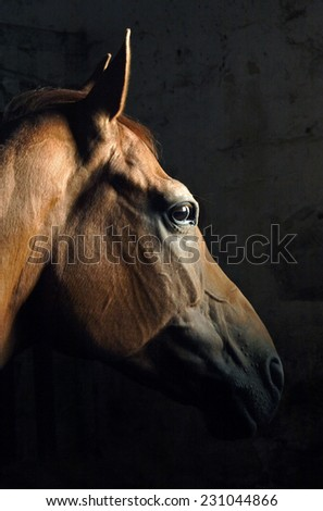 Portrait of bay stallion on dark backgroun - stock photo