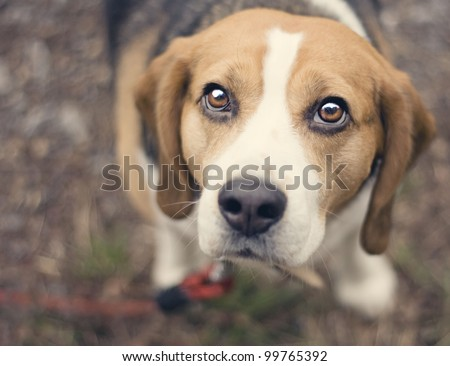 Portrait of Beagle in wood - stock photo