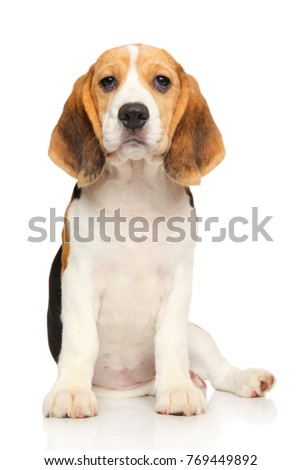 Portrait of Beagle puppy on white background