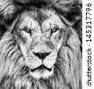 Portrait of beautiful African lionin black and white - stock photo