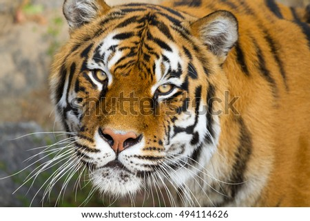 Portrait of beautiful Amur Tigers