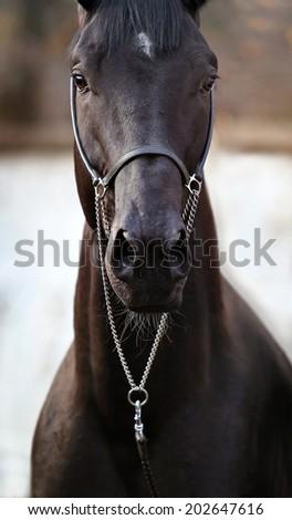 portrait of beautiful black horse - stock photo