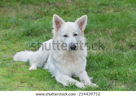 Portrait of beautiful dog - White Swiss Sheepdog