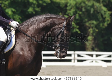 portrait of beautiful frisian dressage horse in motion