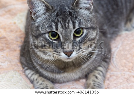Portrait of beautiful gray cat