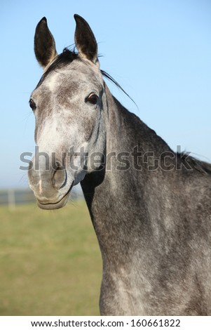 Portrait of beautiful grey horse in autumn