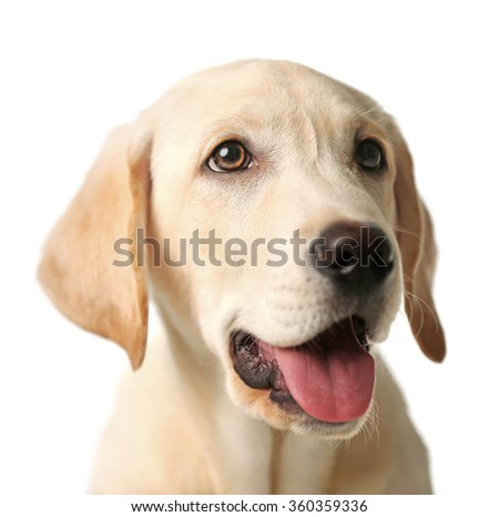 Portrait of beautiful Labrador retriever isolated on white background, close up - stock photo
