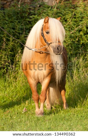 Portrait of beautiful minishetland stallion - stock photo