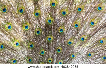 portrait of beautiful peacock with feathers out /  Peacock - stock photo