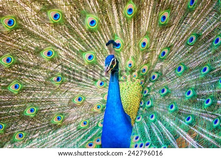 Portrait of beautiful peacock with it feathers out - stock photo