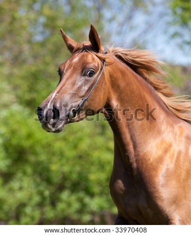 Portrait of beautiful sorrel arabian horse in wood in gallop