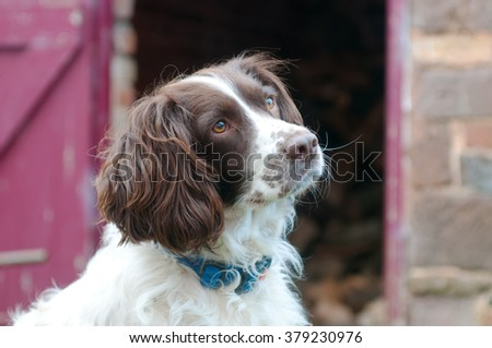 Portrait of beautiful Springer Spaniel dog, with an expectant expression.